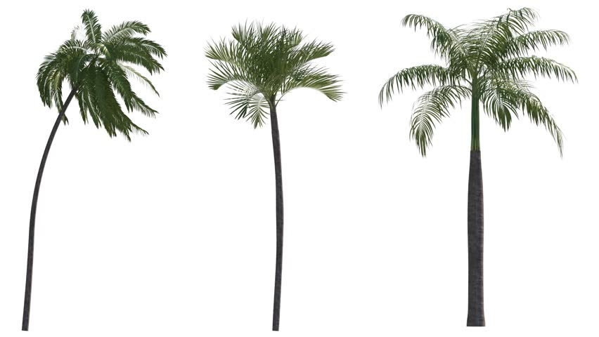 Photo-realistic Palms Animated by Wind, with Alpha Channel