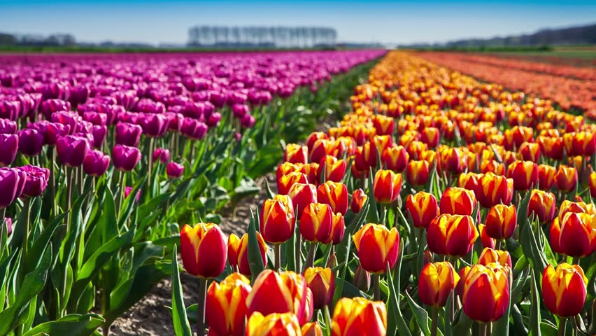 Ass tulips video