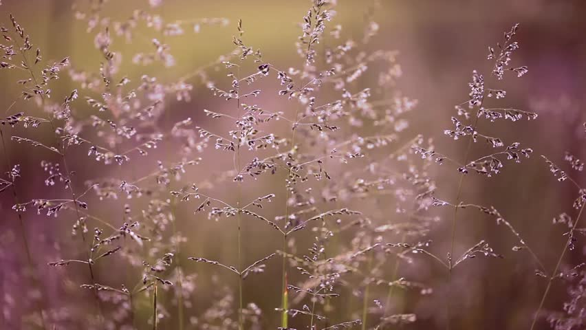 Lovely Vintage Meadow In Gentle Wind. Magic Purple Color Tone ...