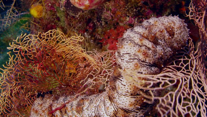 Black spotted sea cucumber (Pearsonothuria graeffei) feeding among an gorgonia on a coral reef. WAKATOBI, Indonesia