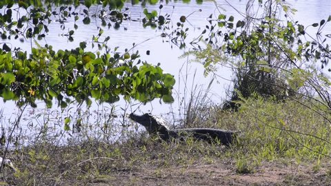 Two alligator stopped in the pond. Yacare Caiman in the Pantanal Biome. Mato Grosso do Sul state, Central-Western - Brazil.