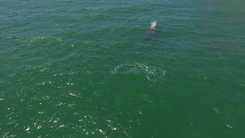 CALIFORNIA - CIRCA 2010s - An aerial over a California gray whale with calf migrating.