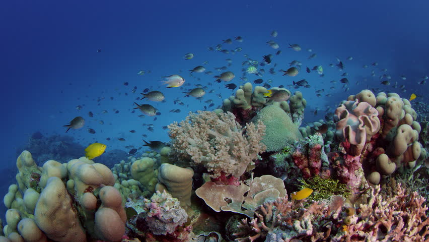 Millions of Chromis Damsel, Chromis sp, hiding in a coral , WAKATOBI, Indonesia, slow motion