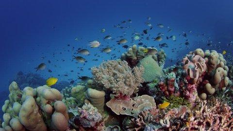 Millions of Chromis Damsel, Chromis sp, hiding in a coral , WAKATOBI, Indonesia, slow motion