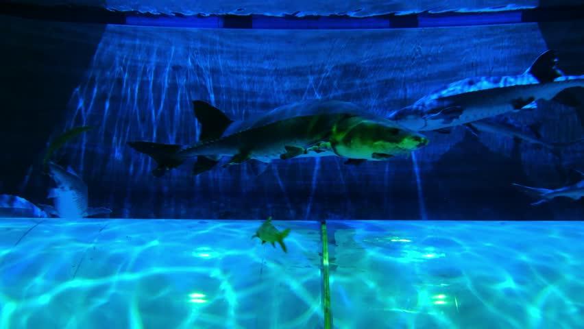 Chinese sturgeon swimming in aquarium