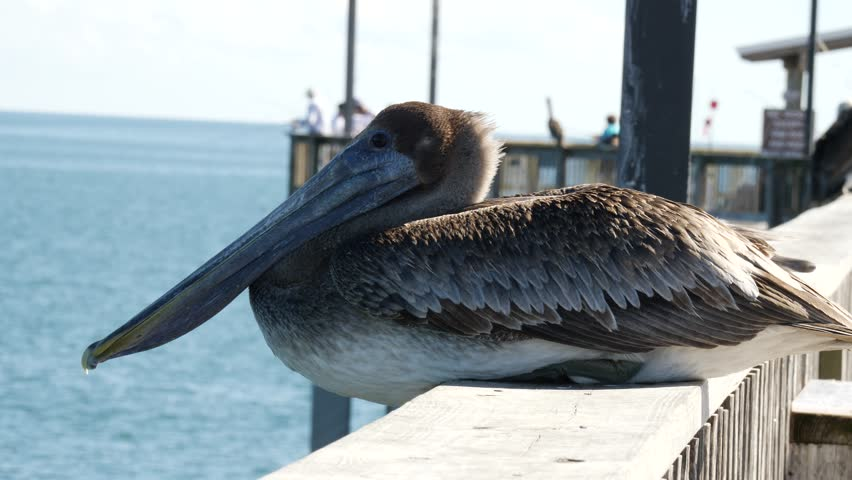 Side view close-up of a cute pelican perching on the wooden railing of a pier in a sunny day at the seaside
