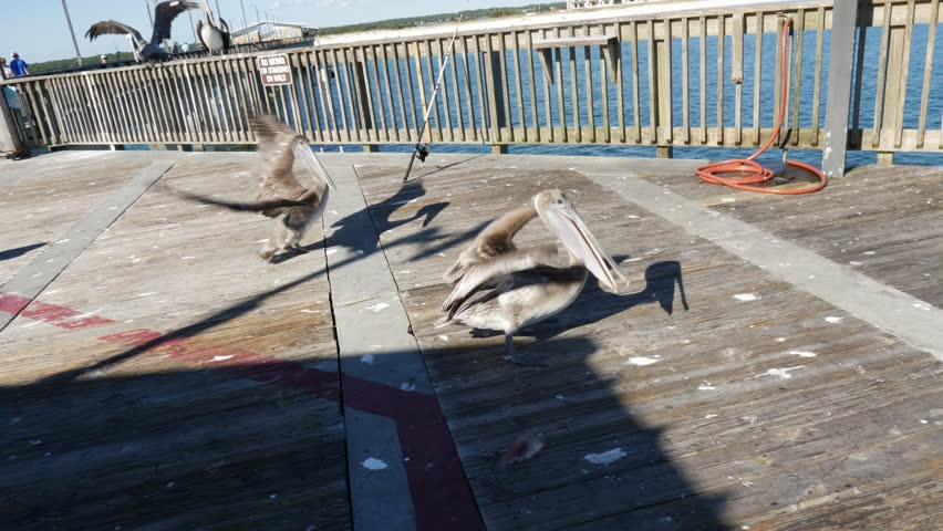 Three large pelicans squabbling over a fish from a fisherman on a wooden marine pier in a close up view