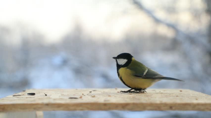 Tit bird (Parus major) pecks seeds in the bird feeder in winter. Slow motion video