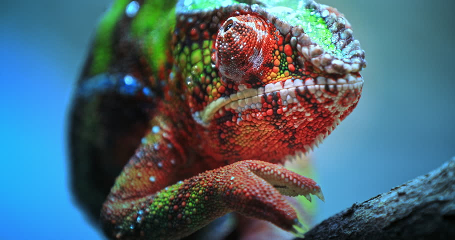 Close-up macro view of Chameleon tropical lizard with colorful textured skin walking on tree branch in tropical nature #1006717219