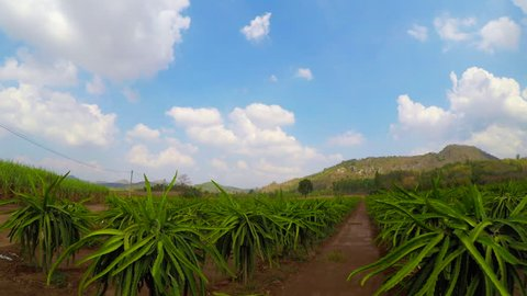 Time Lapse Landscape Pitaya Farm In Pak Chong District , Nakhon Ratchasima Province , Thailand
