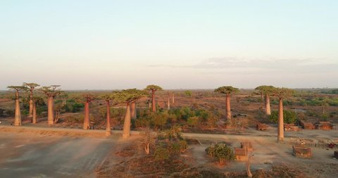 Avenue of Baobab trees in Madagascar, overhead aerial shot