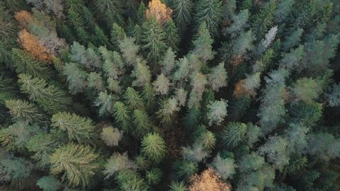 Flying over treetops. Aerial shot of firs and yellow birches in fall forest