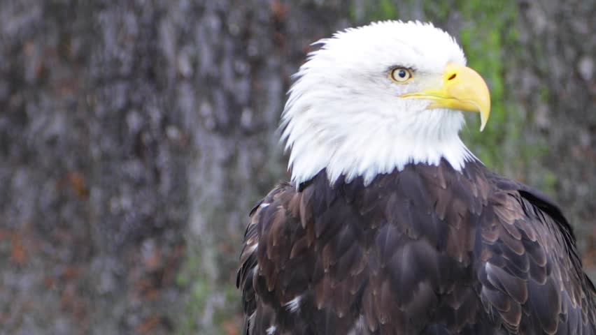 Bald Eagle screeching exhibits natural killer instinct (HD, Slo-Mo) #1006773619