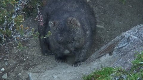 Common Wombat scratch stomach and sniffing around