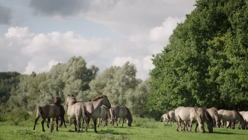 A herd of wild konik horses are grazing in a field and standing close interacting with each other on a windy sunny day in the Netherlands