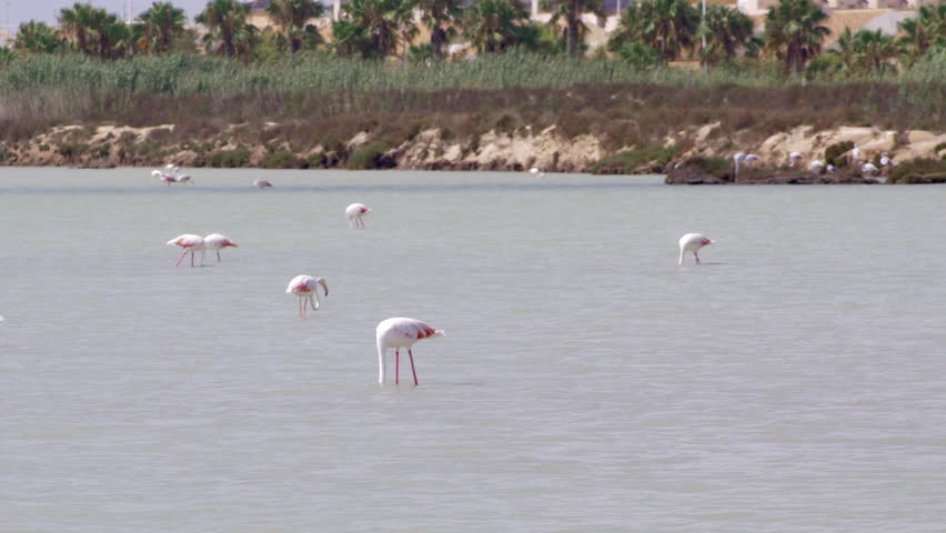 Flamingos walking across shallow water in the Las Salinas solt lake, Murcia, Spain