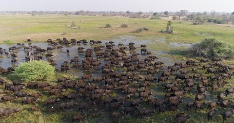Spectacular aerial close-up side view of a large herd of Cape buffalo walking through marshy wetland in the Okavango Delta, Botswana