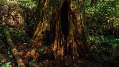 Dead tree in the Redwoods.