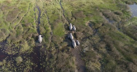 Aerial view of a breeding herd of elephants walking in the marshy grasslands of the Okavango Delta, Botswana
