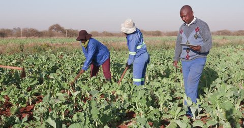 African farmer monitoring his kale crop with a digital tablet with woman ploughing in the background