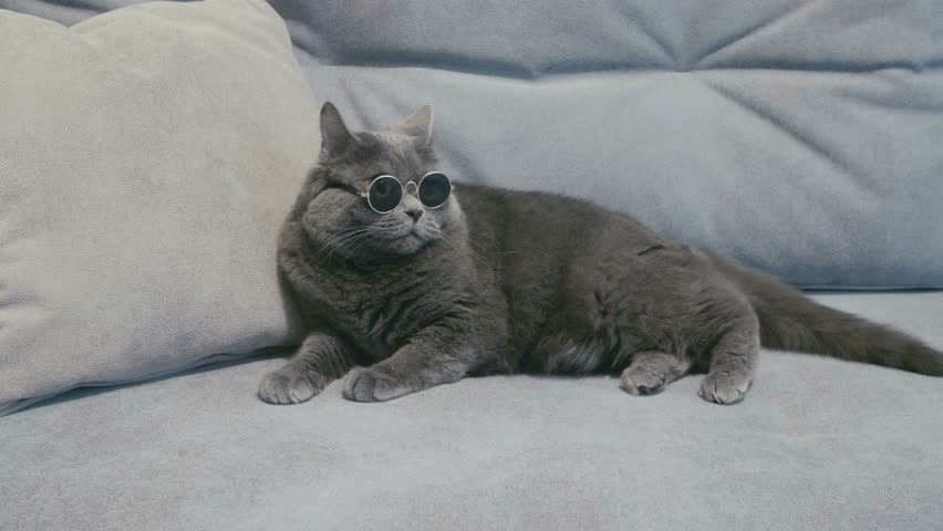 Cat in sunglasses. Cat in glasses. Cat take off sunglasses. British cat.