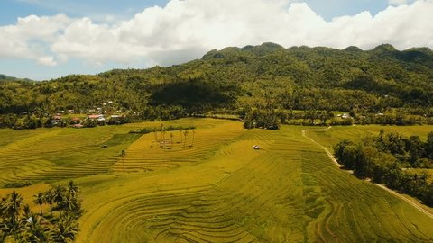 Rice field with yellowish green grass. Aerial view: rice plantation with hilly mountains landscape. Terrace rice field from aerial view. Philippines, Bohol. 4K video. Aerial footage.