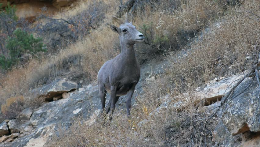 Young Bighorn sheep climb on the Bright Angel trail