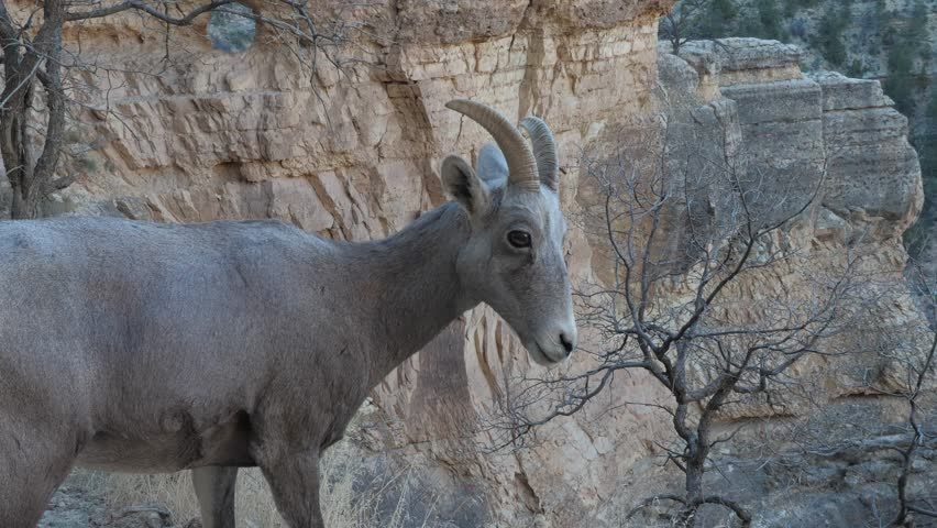 Desert Bighorn sheep on the Bright Angel trail