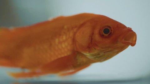 Close up Gold Fish
