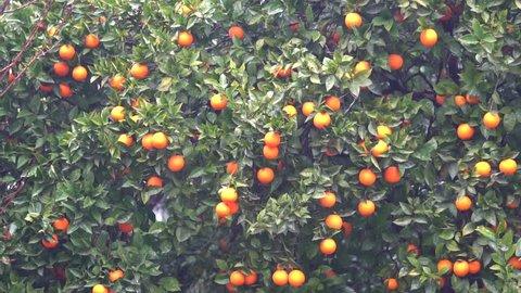 Orange trees with fruits on plantation and rain