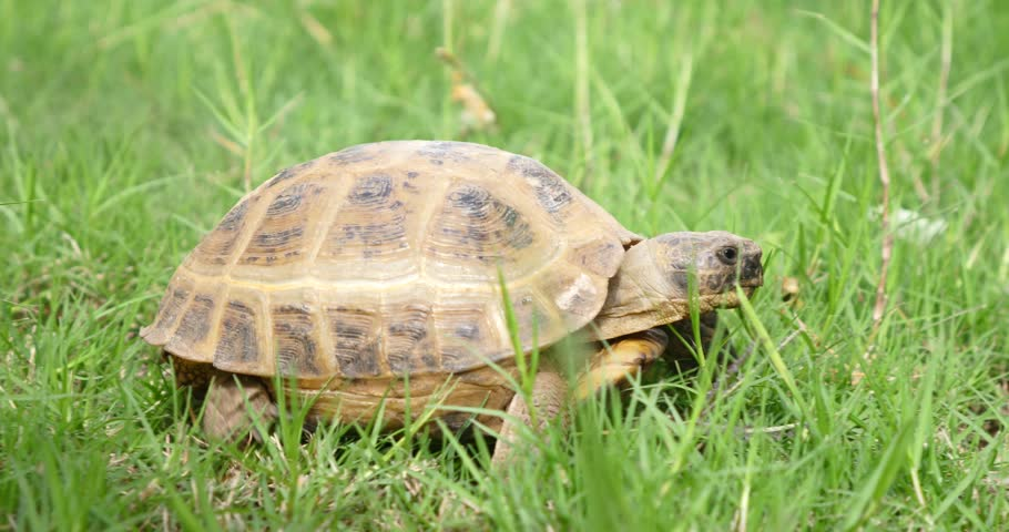 tortoise turtle slowly moving through the scene on green grass walking slow looking at camera old ancient endangered tropical wildlife animal #1007229709