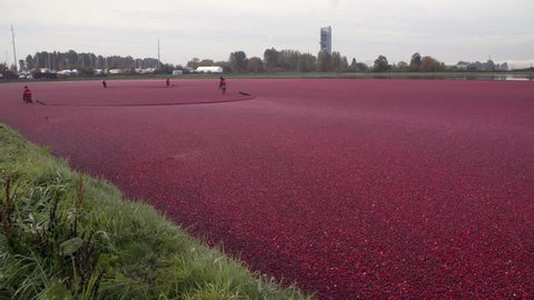Cranberries Float being Harvested 4K. UHD. Cranberries float on a flooded cranberry bog ready for harvest. Richmond, British Columbia, Canada. 4K. UHD.