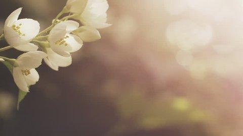 jasmine white flowers in sunset light