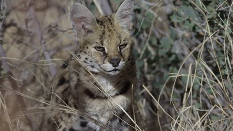Serval cat no prey looks down disappointed