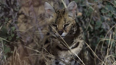 Serval close up hiding in the grass