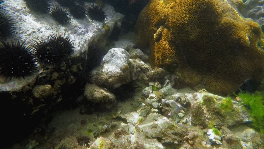 Coral reefs with sea urchins