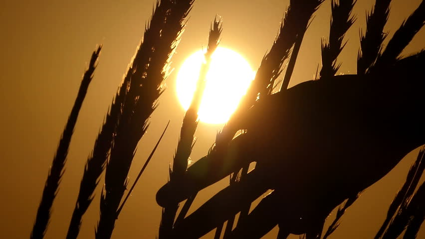 High spikelets of wheat swaying in the field at sunset in slo-mo | Shutterstock HD Video #1007291959