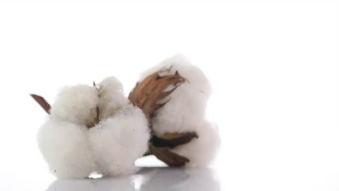 Cotton. Cotton bud close-up rotation on white background with reflection. Fluffy Cotton plant boll. Rotated. UHD 4K video
