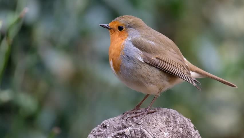 The European robin, known simply as the robin or robin redbreast in the British Isles, is a small insectivorous passerine bird. | Shutterstock HD Video #1007367889