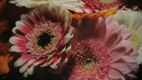 Medium close up shallow depth of field motion time lapse shot circling around different colors gerbera daisy flowers in a colorful bouquet while blooming and dying.
