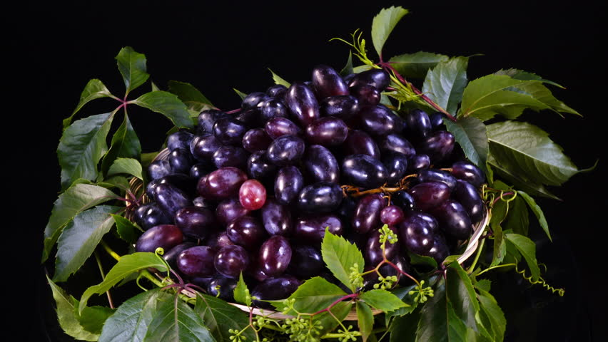 Amazing bunches of dark violet grapes on fresh leaves, rotating on black background contra clockwise close up. Vibrant natural texture with excellent details in UHD  4k, 3840x2160, clip. Eco product.