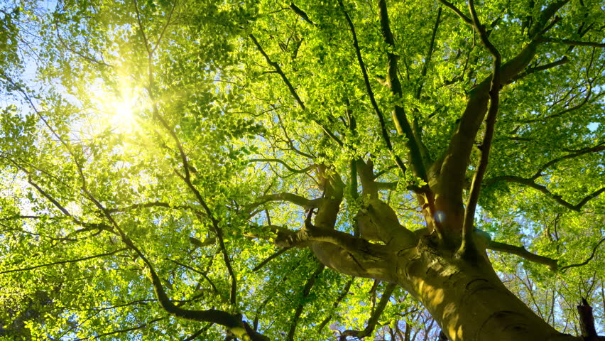 The spring sun gently shining through the fresh green branches of a large beech tree