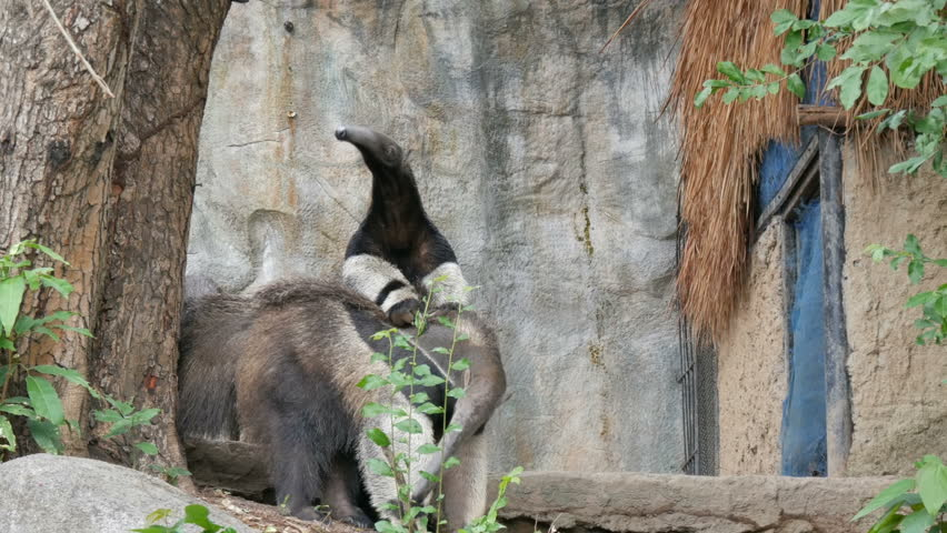 A pair of anteaters is in the khao kheo zoo, Thailand