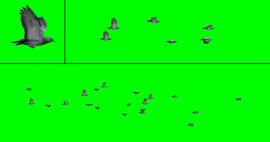 Flock of pigeons in flight for compositing onto your footage. Includes two flock options with 6 or 20 birds, on a green background. Also includes an individual pigeon flying in place.   Shutterstock HD Video #1007536879