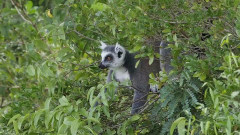 ring-tailed lemur catta in tree eating wild fruits