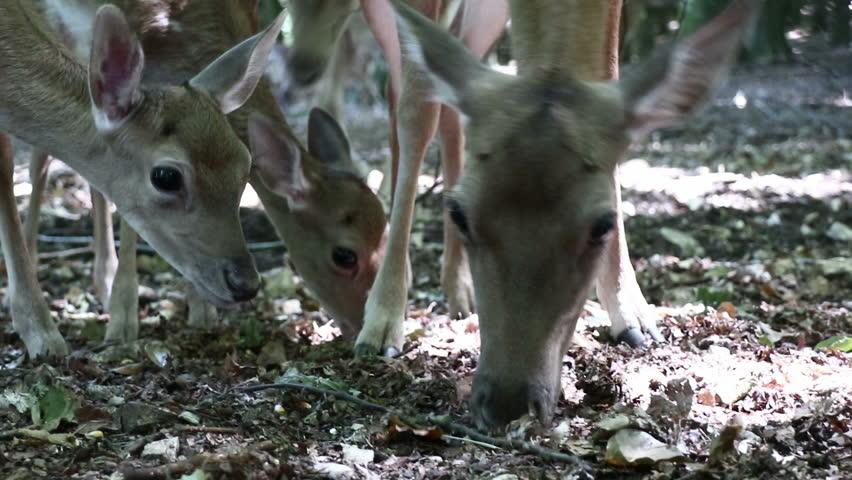 Fallow deer in the Gargano national park in Apulia (Puglia)