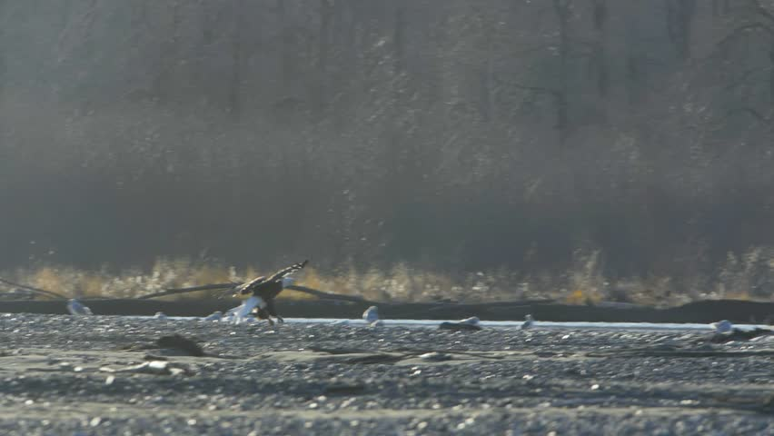 In the warm slanting sunlight of afternoon in late autumn/early winter, a bald eagle flares and lands in slow motion on a cold day in the Chilkat Bald Eagle Preserve.  You can see its breath condense  #1007552899