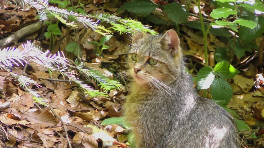 4K footage of a Wildcat (Felis silvestris) in the Bayerischer Wald National Park in Bavaria, Germany. The wildcat is a small cat found throughout most of Africa, Europe and Asia.