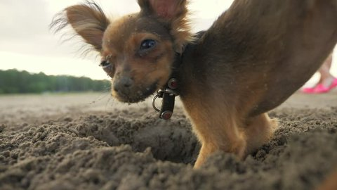 The dog digging a hole in the sand. Shooting video slow motion 180fps.