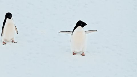 Adelie penguins colony on snowy field, Antarctica